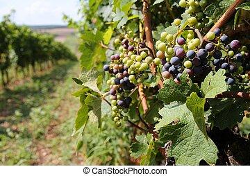 Austria vine