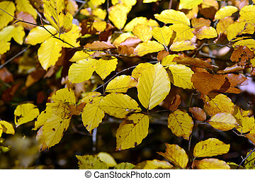 Austria_Botany - colorful leaves of common hornbeam