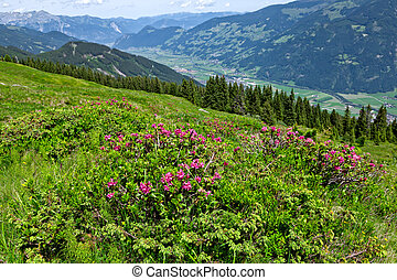 Austrian mountain landscape with Alpine Roses in the foreground. Zillertal Valley, Zillertal Alpine Road, Austria, Tyrol.