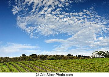 ausztrál, szőlőskert, táj