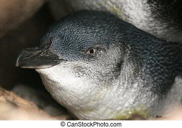 ausztrália, -, melbourne, rétegfelhő, kilda, tündér, pingvin