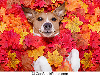 jack russell dog , lying on the ground full of fall autumn leaves, looking at you and lying on the back torso