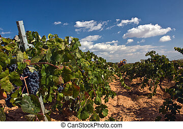 Automatic combine-harvester gathering grape