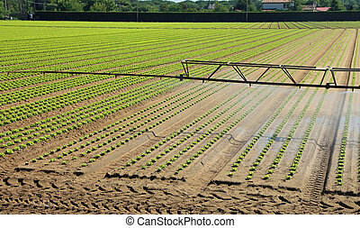 automatic irrigation system in the field with shoots of lettuce
