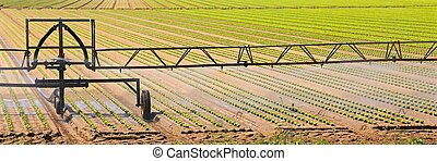 irrigation system on the cultivarted field of green lettuce
