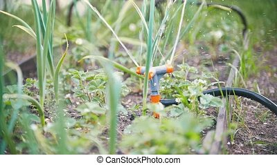 Automatic water sprinkler - watering grass and flowers in...