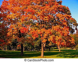 automne, érable, arbres, dans, automne, parc ville