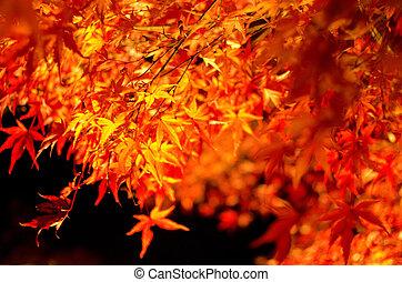 automne, érable japonais