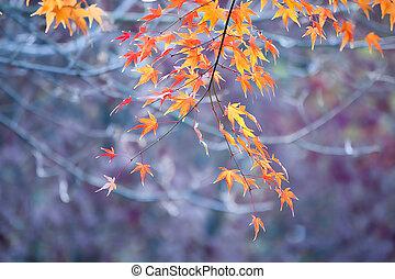 automne, érable, pousse feuilles