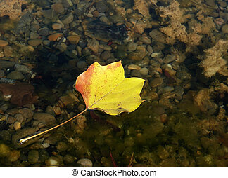 automne, étang, feuille flottante