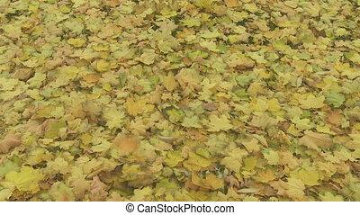 automne, 02, feuilles, érable