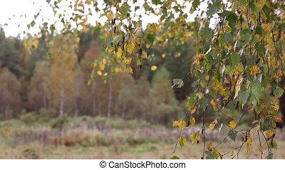 automne, agiter, feuilles, wind., bouleau