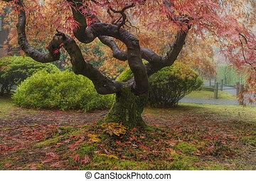 automne, arbre, vieux, érable japonais