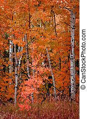 automne, automne, tremble, arbres, bouleau