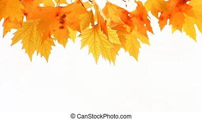 automne, backgr, feuilles, blanc rouge