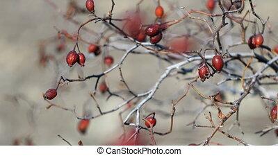automne, baies, briar, rouges