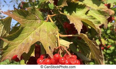 automne, baies, coloré, viburnum