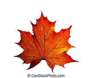 automne, blanc, feuille, isolé, fond