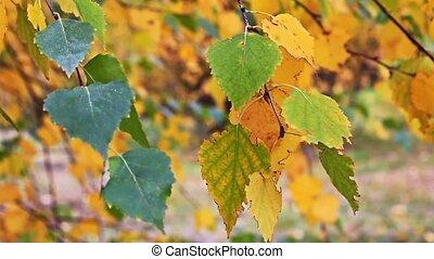 automne, bouleau