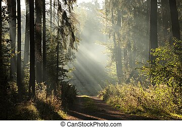 automne, brumeux, aube, forêt