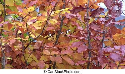 automne, brun, haie