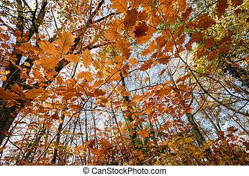 automne, chêne, forêt