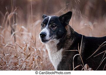 automne, champ, race, mélangé, chien