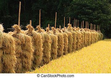 automne, champ, riz, perspective