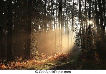 automne, conifère, levers de soleil, forêt