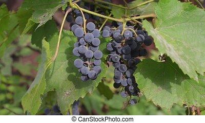 automne, coucher soleil, vignobles, organique, harvest.