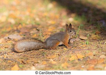 automne, ensoleillé, écureuil, jour