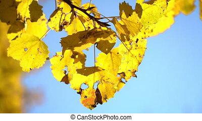 automne, ensoleillé, feuilles, tremble