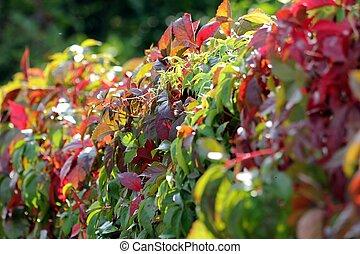 automne, ensoleillé, lierre