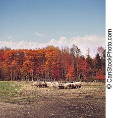 automne, ferme, mouton