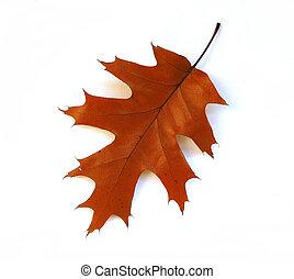 automne, feuille chêne, blanc, fond