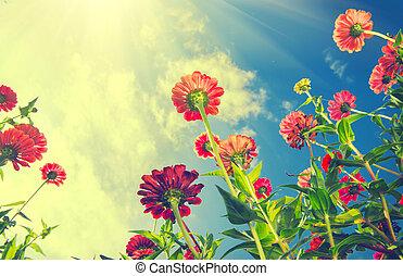 automne, fleurs, sur, bleu, sky., zinnia, fleur