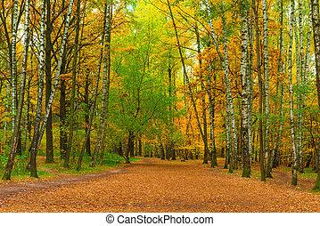 automne, large, parc, bouleaux, sentier