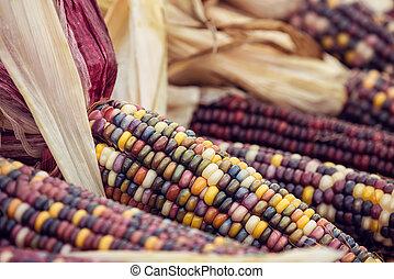 automne, maïs, indien, closeup