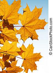 automne, mapple, feuilles, jaune