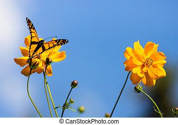 automne, monarque, migrer, butterlies