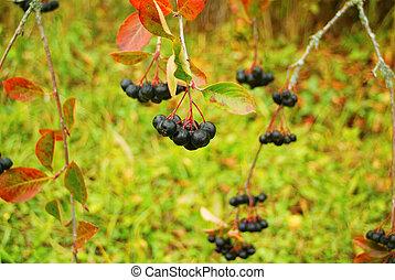 automne, noir, frêne, fruits