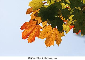 automne, norvège, platanoides, érable, acer