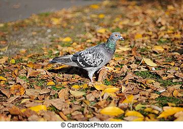 automne, pigeon, parc