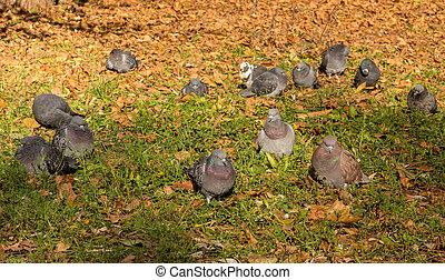 automne, pigeons, parc