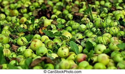 automne, pommes, récolte