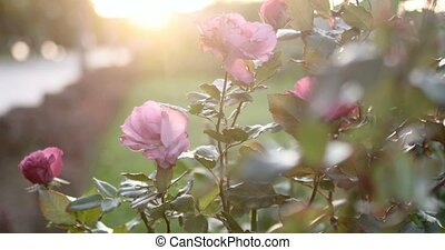 automne, roses, jardin, rouges, backlit
