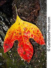 automne, sassafras, feuille, coloré