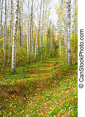 automne, sentier, bosquet, bouleau