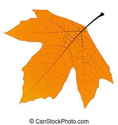 automne, sycomore, feuille