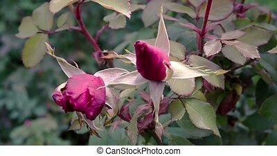 automne, tard, rosegarden, deux, roses